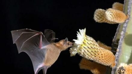 Reportan 9 fallecidos por rabia silvestre por mordedura de murciélagos