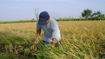 Solicitan declarar en emergencia cultivos de arroz ante incremento de plagas