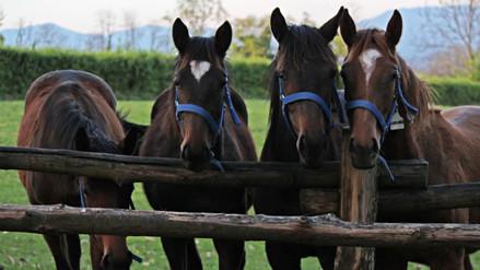 Estudio revela que los caballos pueden reconocer las emociones humanas
