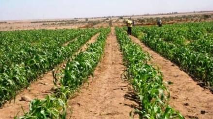 Cultivos de papa y quinua se perderán por presencia de lluvias