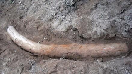 Pakistán: descubren un colmillo de stegodon de más de un millón de años