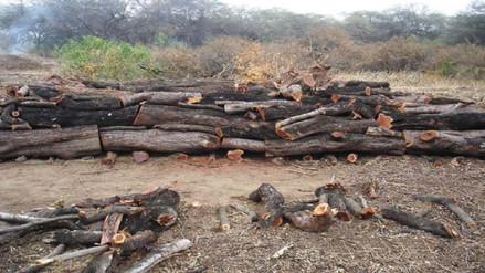 Lambayeque: bosque seco de Mórrope continúa siendo depredado