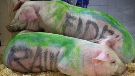 Artista cubano recrea obra con cerdos que le llevó a la cárcel