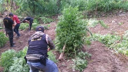 Sánchez Carrión: erradican S/. 3 millones en plantones de marihuana
