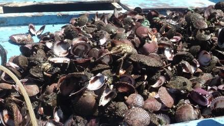 Reportan mortandad de 200 mil manojos de conchas de abanico