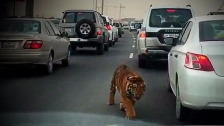 Tigre escapó y causó pánico en medio de una carretera en Catar