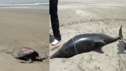 Reportan muerte de delfines y tortugas en el litoral lambayecano