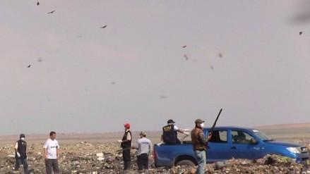 Descartan caza sanitaria de gallinazos en Chiclayo