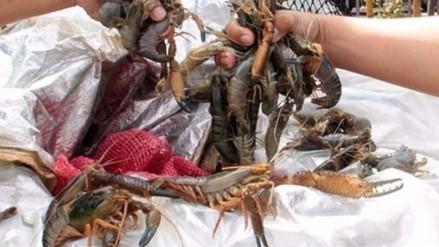 Pisco: incautan 400 kilos de camarones en temporada de veda