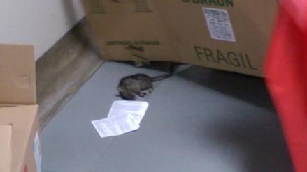 Reforzarán vigilancia sanitaria en hospital de EsSalud tras hallarse roedor