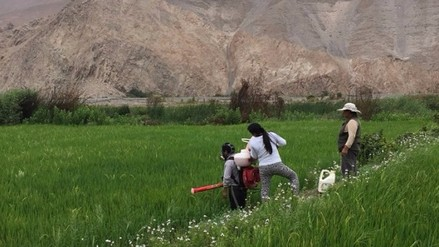 Iniciarán cosecha de arroz en el valle de Tambo