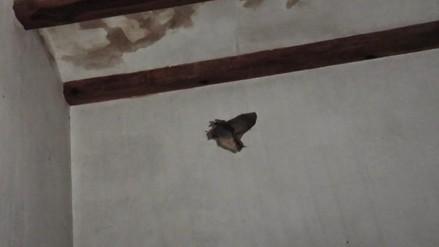 Huaral: denuncian sorpresiva aparición de murciélagos en viviendas