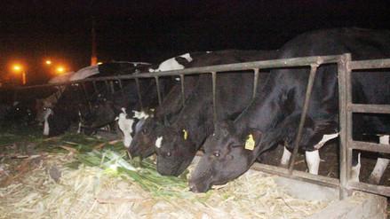 82 mil cabezas de ganado serán vacunadas contra el ántrax en Lambayeque