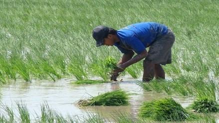 Los agricultores lambayecanos sembraron más hectáreas de arroz que las programadas