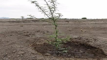 """Lluvias de """"El niño"""" favorecieron proceso de reforestación en Lambayeque"""