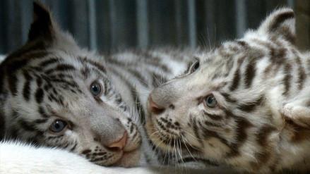 Nacen cachorros de tigre blanco en zoológico de República Checa