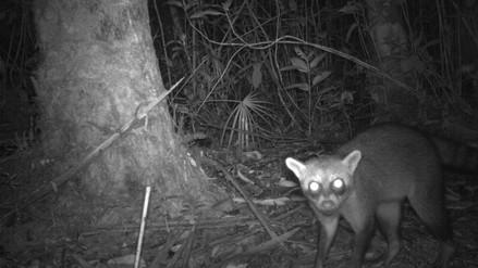 Científicos logran imágenes inéditas de especies de la Amazonia peruana