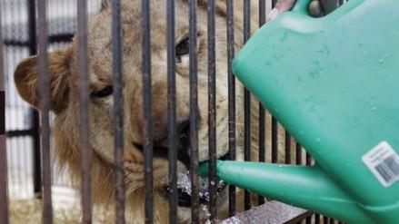 33 leones de circos de Perú y Colombia irán a santuario en África