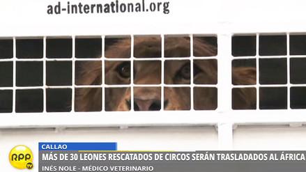 33 leones rescatados de circos de Perú y Colombia son trasladados a África