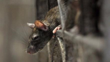 Se disparan las quejas por la presencia de ratas en Nueva York