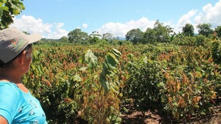 Reemplazan cultivo de hoja de coca por cacao en el valle de Sion