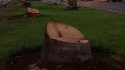 Los Olivos: municipio tala palmeras de importante avenida