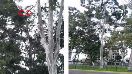 San Borja: gato atrapado en copa de árbol hace una semana