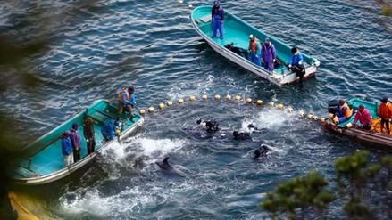 Aumenta la venta de delfines en la bahía de Taiji pese a la prohibición