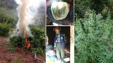 Pataz: hallan más de 7 toneladas de marihuana en plantones