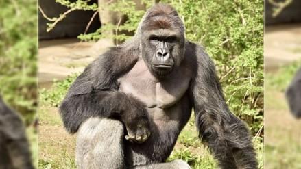 Matan a gorila en zoológico para proteger a un niño que cayó en su jaula