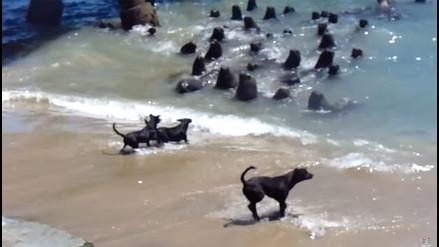 YouTube: graban curiosa 'pelea' entre perros y lobos marinos
