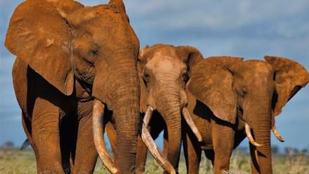 EEUU prohíbe comercio de marfil para salvar a elefantes africanos