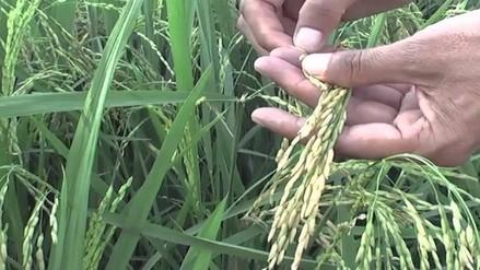 Chiclayo: Plaga afecta a cultivos de arroz de Oyotún