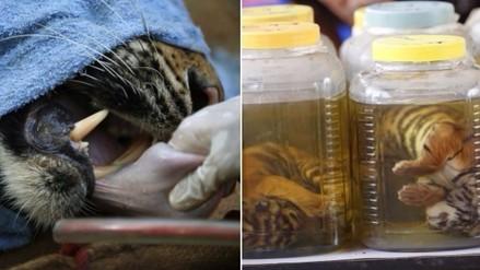 Tailandia: así era el tráfico de tigres en un templo budista
