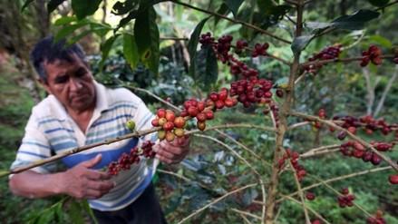 Minagri: El café sostiene a 223 000 familias de agricultores