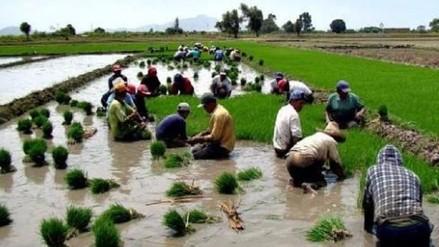 Campesinos lambayecanos ya no instalarán campaña complementaria de arroz