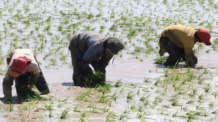 Aprueban campaña complementaria de arroz en la zona de Chongoyape