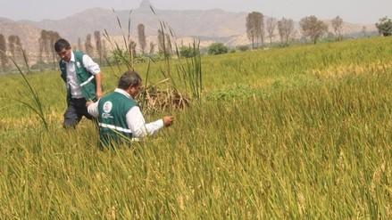 Senasa recomienda medidas de prevención para evitar plagas en el arroz