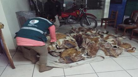 Espinar: Efectivos hallan dentro de un auto 43 pieles de vicuña
