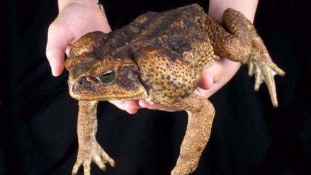Encuentran rana gigante en Perú que se pensaba extinta