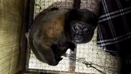 Mono choro en cautiverio fue rescatado por personal de Serfor