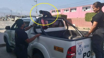 Chiclayo: mono que atacó a policía fue entregado a Serfor