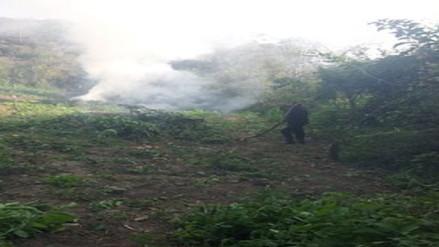 Piura: incineran 60 mil plantones de marihuana en Ayabaca
