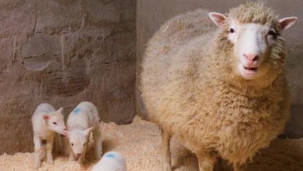 La oveja Dolly, hito de la genética, cumpliría hoy 20 años