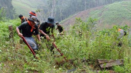Perú redujo cultivos de coca a 40.300 hectáreas en 2015