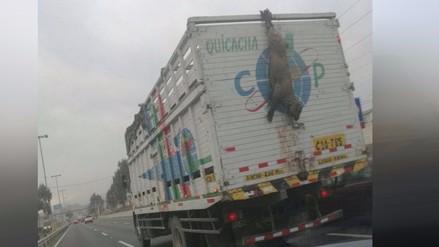 WhatsApp: Oveja viva es trasladada colgada en Panamericana Sur