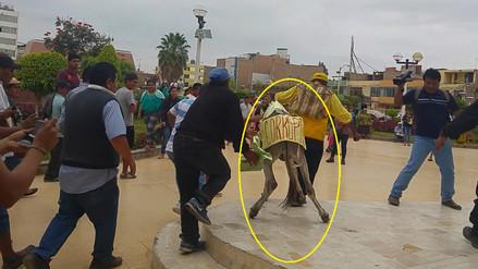 Asno fue maltratado durante marcha de pobladores en Chiclayo