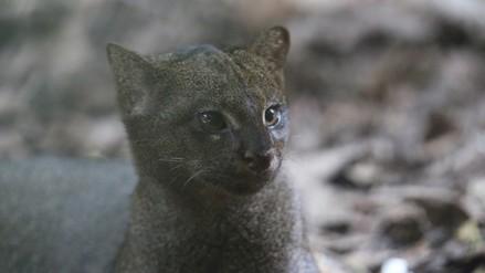 ¿Conoces al 'gato misterioso'? Una bella especie en peligro de extinción