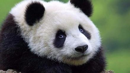 Pandas enfrentan nuevas amenazas en China