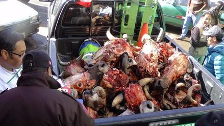 Huancayo: incautan 34 cabezas de res en condiciones insalubres